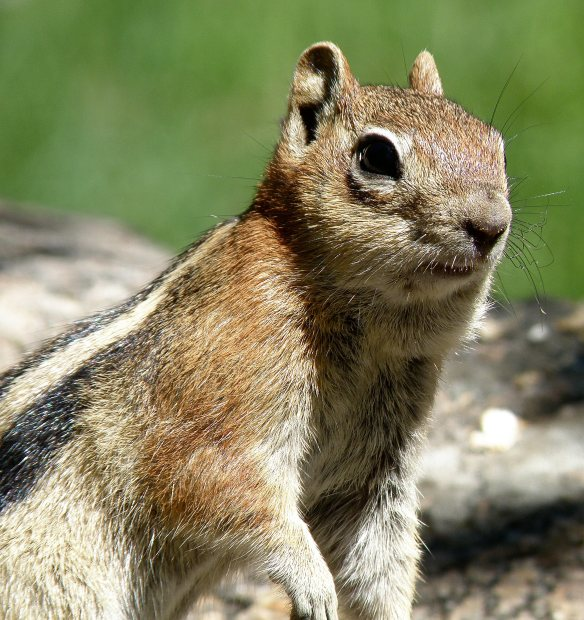 Rocky Mountain High Chipmunk