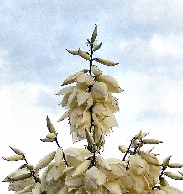 July 12 cruciform yucca flowers 1752