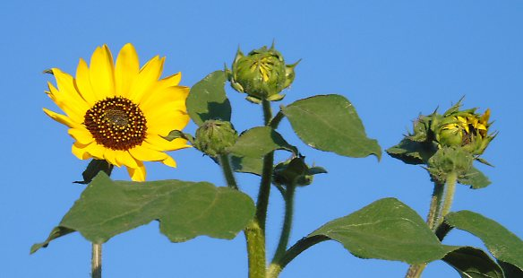 Sunflower and buds