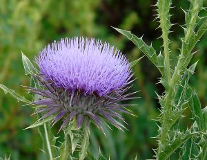 July 8 thistle flower 1745