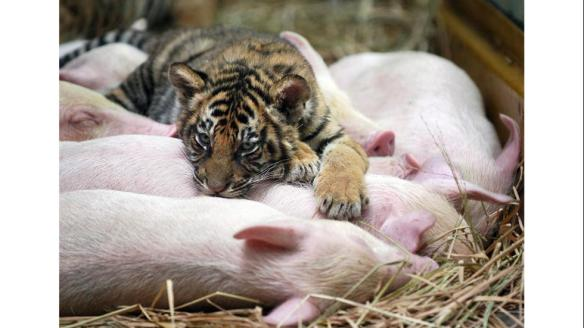 tiger cub and piglets