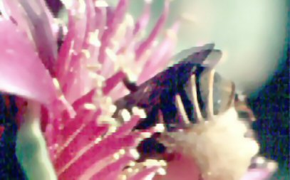 Bee in cactus bloom 2a