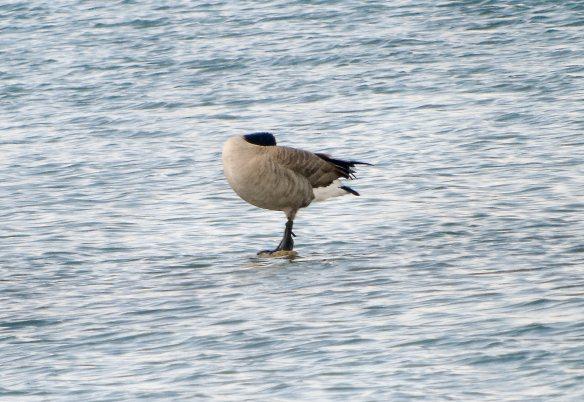 Sep 15 Beckwith goose 1879