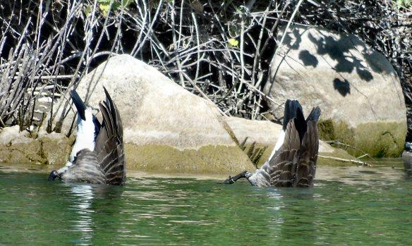 Sep 19 geese dive 1888