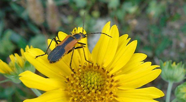 Sep 6 Bug on Wildflower 1811