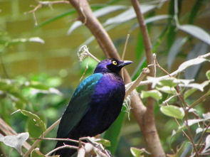 purple_glossy_starling