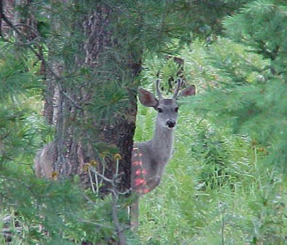 Young deer, Apache National Forest near Bear Wallow Wilderness, Arizona