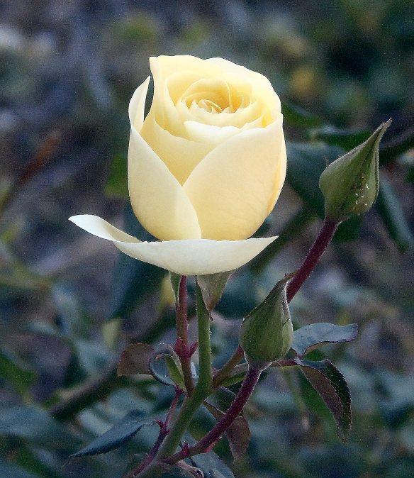 11-3 Last Rose 2076
