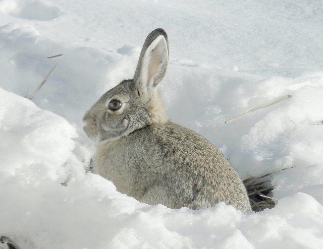 Dec 1 Snow bunny 2118