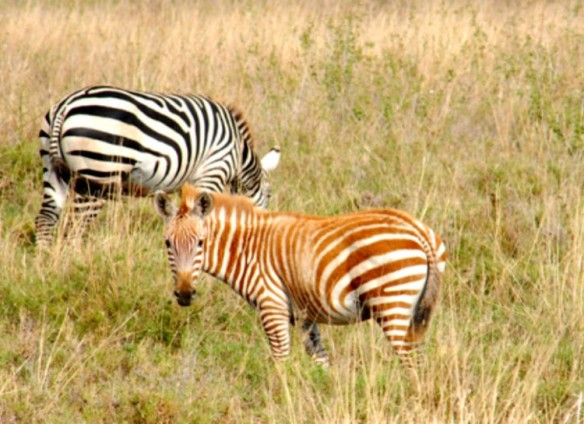 brown striped zebra