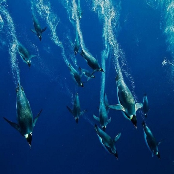 Emperor-Penguins-diving