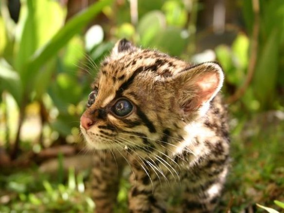 """Hey, margay kitten, what big eyes for you...TA HAVE!"""