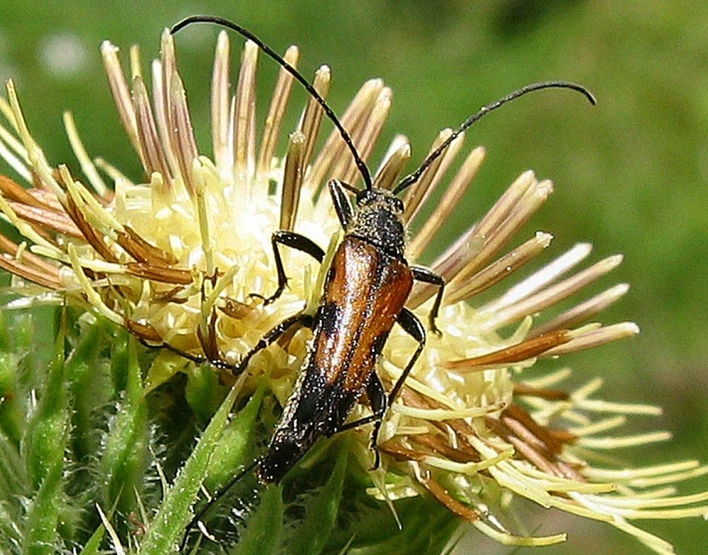 0722-Pollinating beetle, yellow thistle