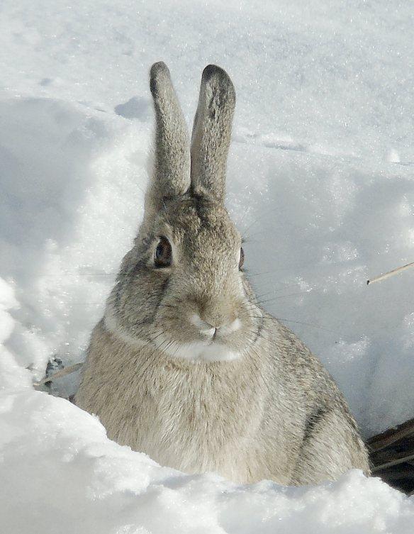Dec 1 2015 Snow bunny 2114