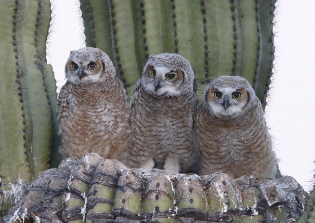 Great Horned Owl chicks X7A8960