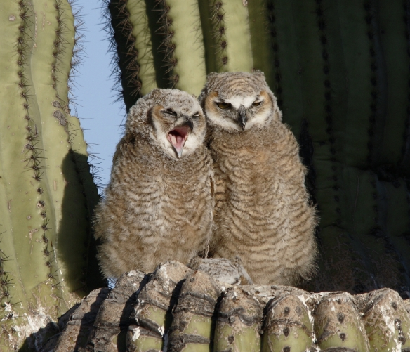 Great Horned Owl chicks X7A9009