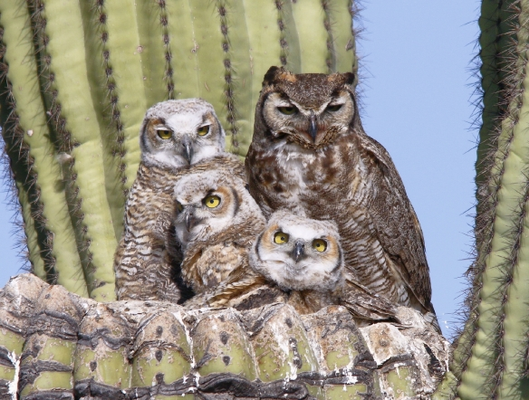 Great Horned Owl family X7A9511