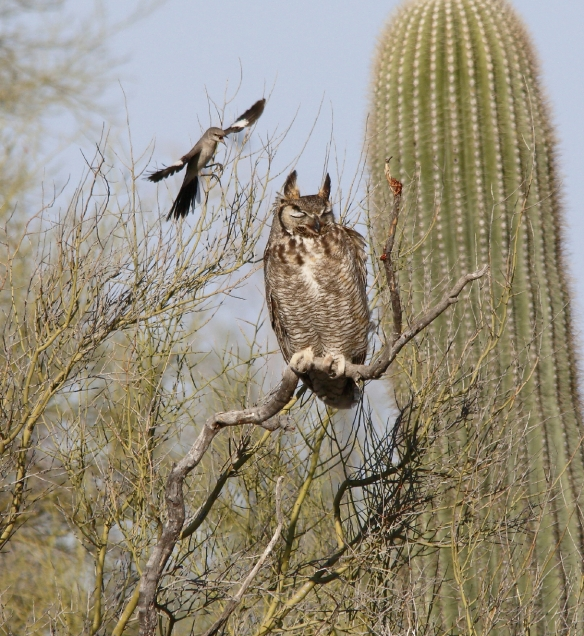 Great Horned Owl X7A9326