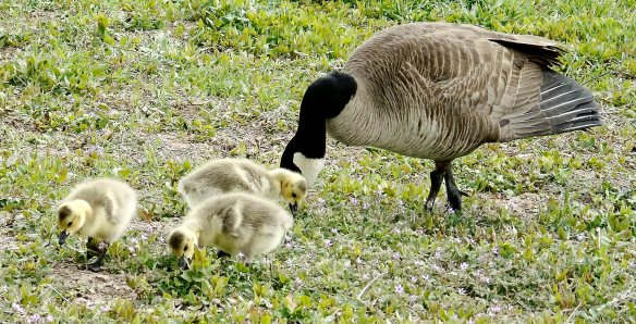 May 9 2016 goose family 2244