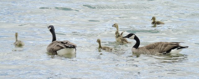 May 9 2016 goose family on water 2260