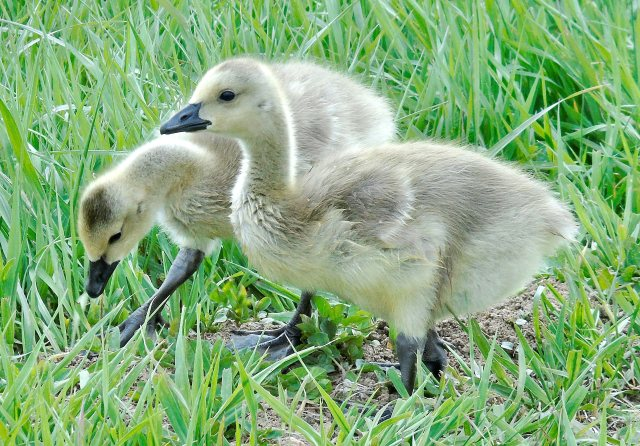 May 9 2016 two goslings 2249