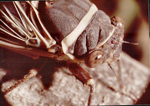 Desert Cicada