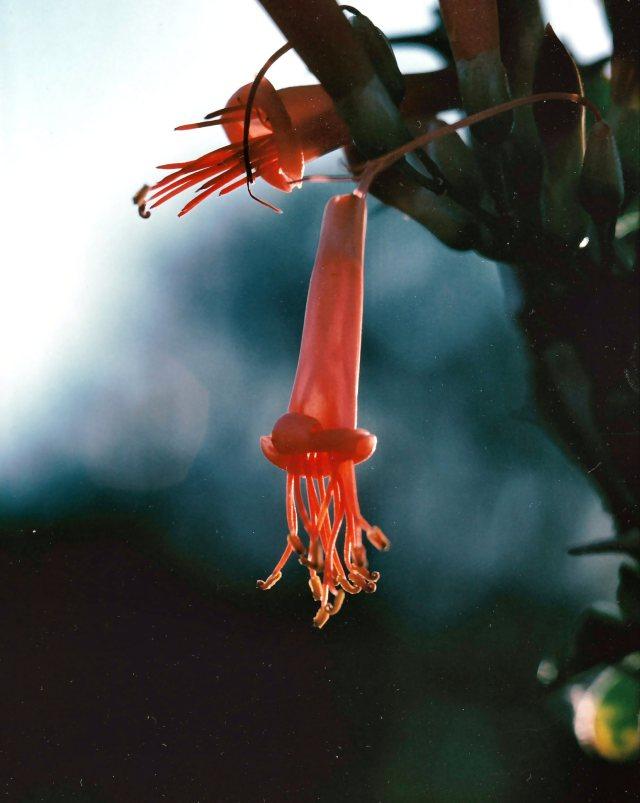 Ocotillo Blossom ca 1972 350 pix