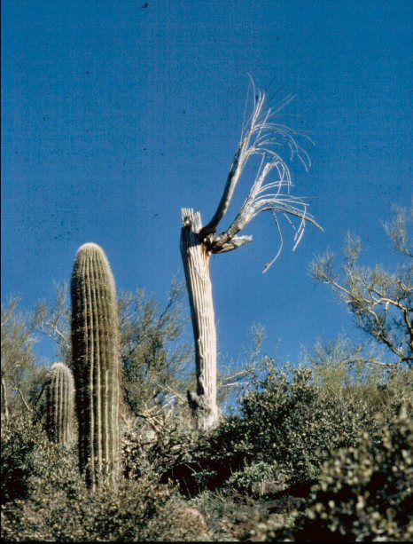 Praying Saguaro