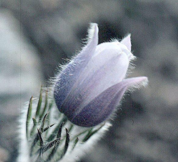 Rocky Mtn Flower