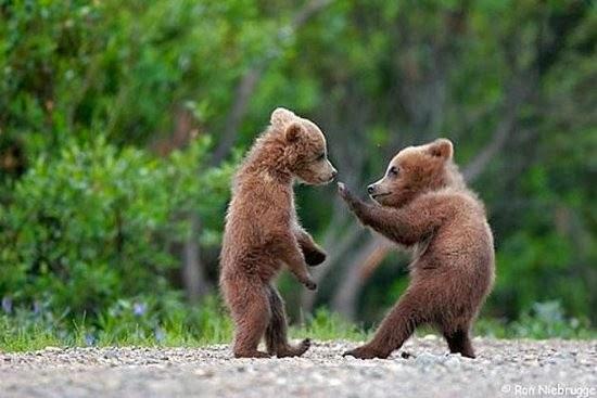 bear cubs boxing cutefunnyanimalz blogspot com