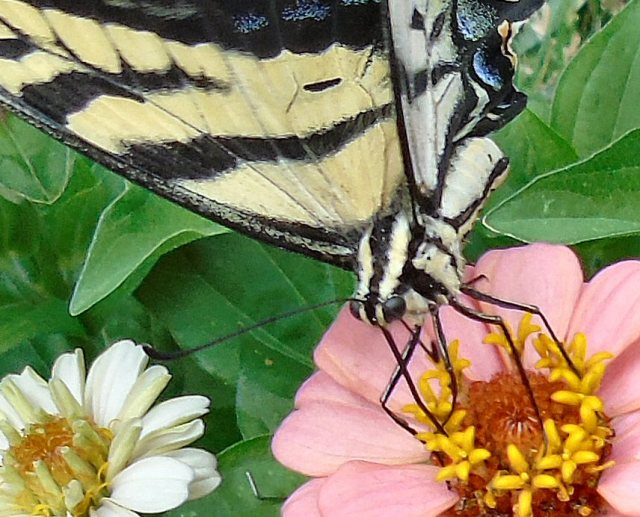 2016 Aug 7 Butterfly 2407