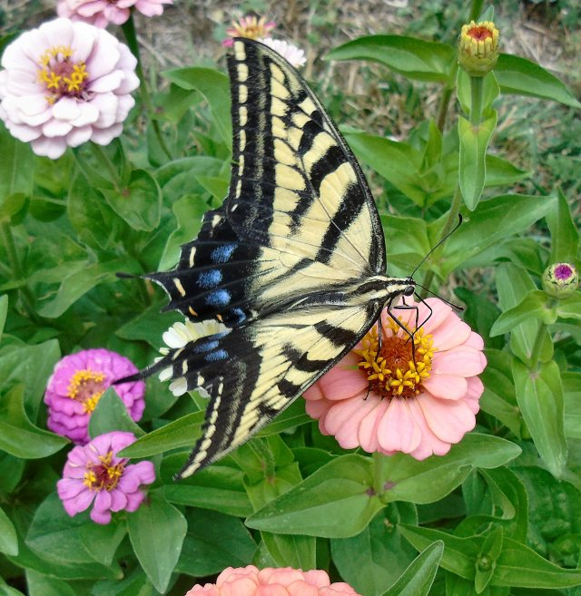 2016 Aug 7 Butterfly 2408