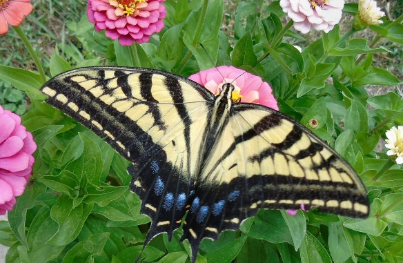2016 Aug 7 Butterfly 2413