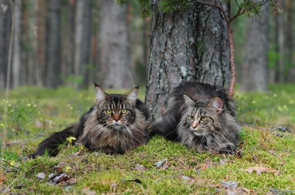 Maine-Coon-Cat-6-1024x680