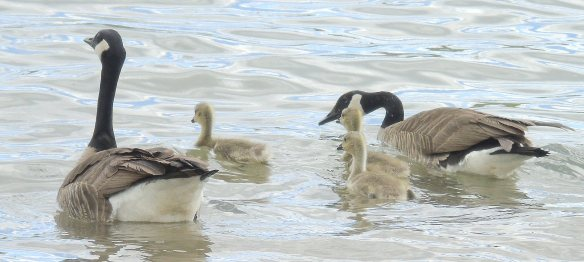 May 9 2016 goose family 2259