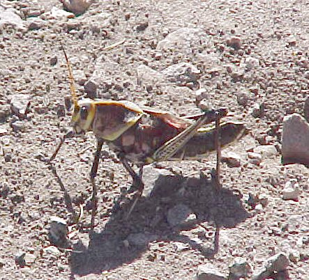2002-november-arivaca-grasshopper-006s