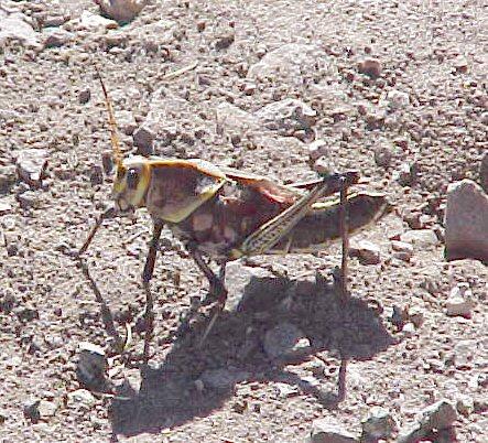 2002-november-arivaca-grasshopper-006s