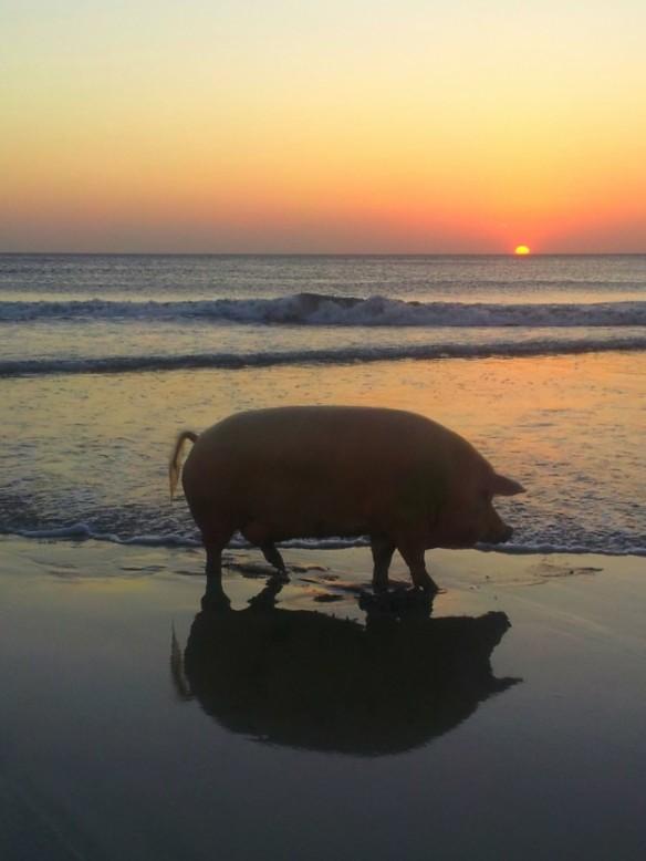 pig-on-beach