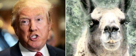 the-donny-llama-e