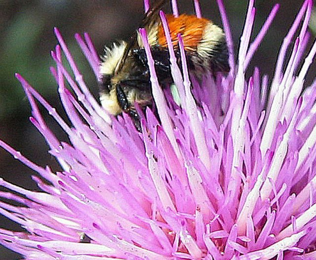 2007-july-red-girdled-bee-thistle-flower-cr