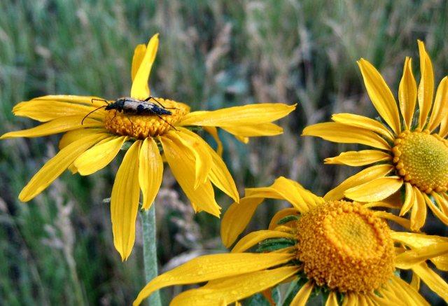 2007-july-sunflowers-apache-nf