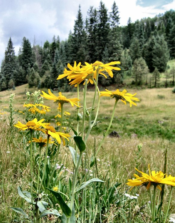 2007-july-sunflowers-on-butterfly-cienega-apache-nf