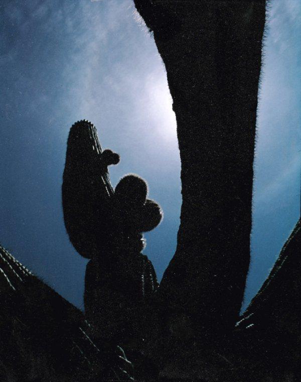 ca-1975-mcdowells-saguaro-backlit-350pxl