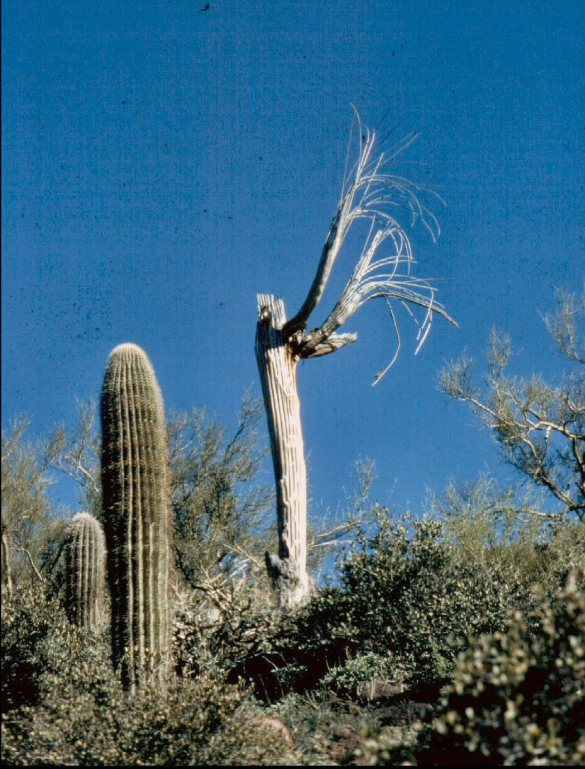 ca-1972-cave-creek-wasjh-praying-saguaro